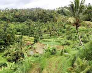 Camaya Bali: Rice Fields