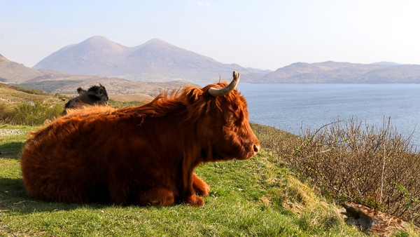 Applecross Gairloch Wooly Cows - 600 original