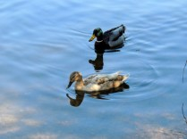 Two ducks, the female a different colour