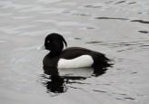 Tufted duck, Trottick Ponds
