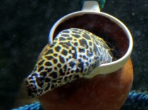 Leopard moray eel, Scottish Sealife Sanctuary, Oban