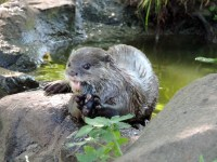 Otter, Edinburgh Zoo