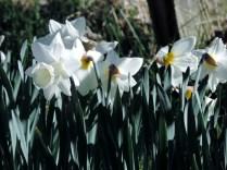 White daffodils, Falkland Estate
