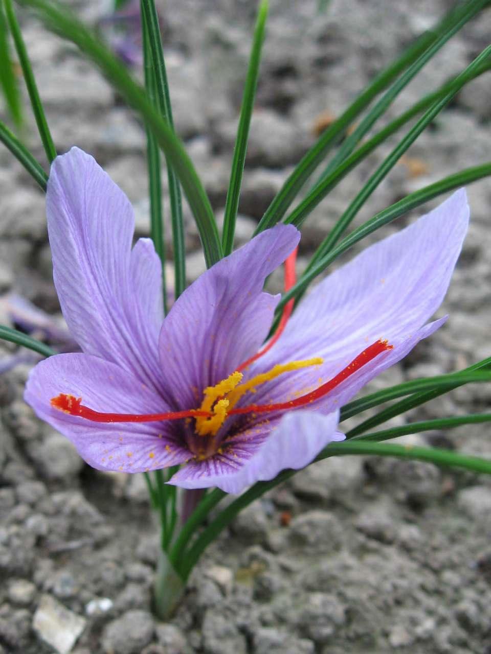 Crocus sativus (Saffron Crocus)   World of Flowering Plants