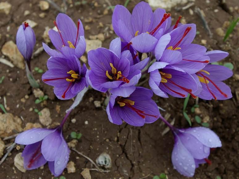Crocus sativus (Saffron Crocus) | World of Flowering Plants