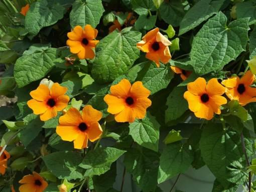 Thunbergia alata (Black-eyed Susan Vine)   World of Flowering Plants