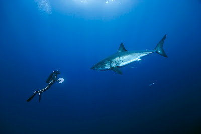 tiburon-blanco-oceans
