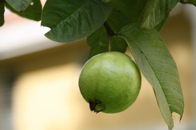 Guava Foods to cure Premature ejaculation