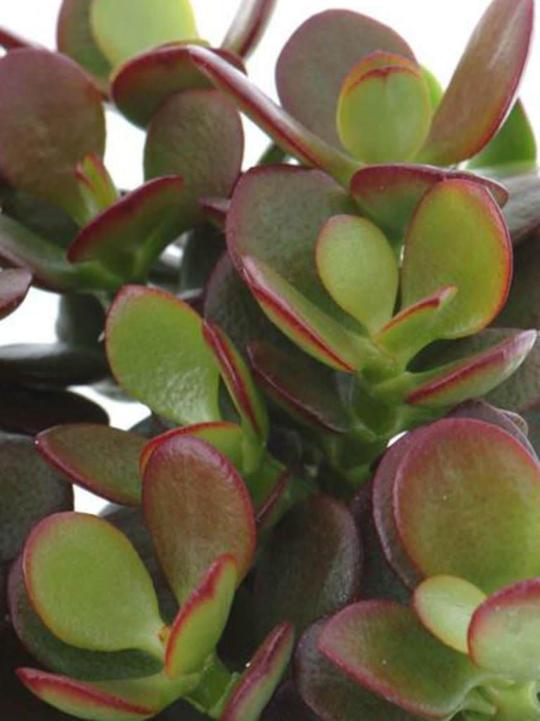 Where Buy Mini Succulents