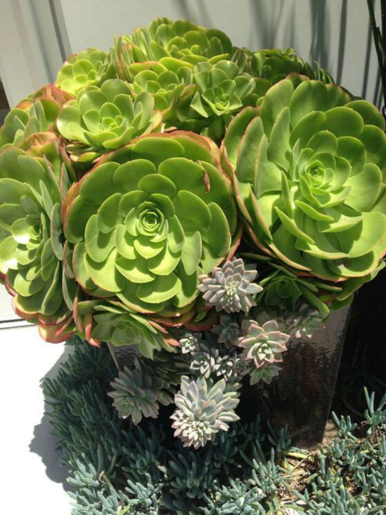 Aeonium Urbicum Saucer Plant World Of Succulents