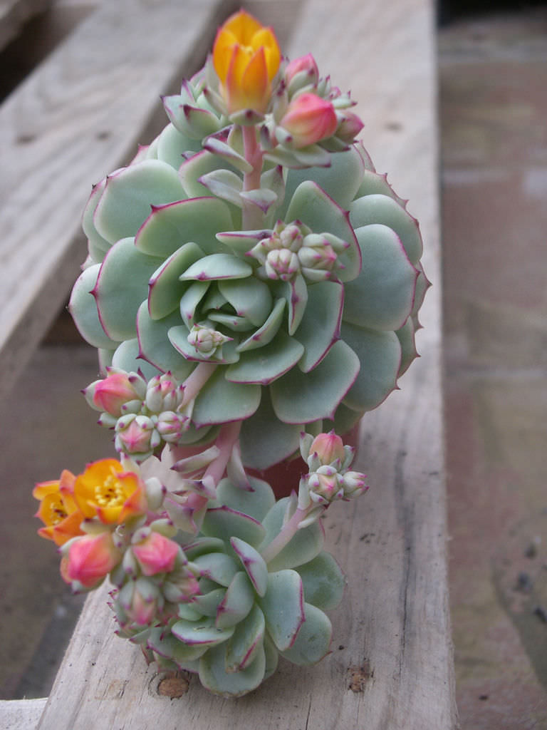 Echeveria Derenbergii Painted Lady World Of Succulents