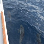 Dolphins along the boat12