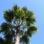 Palm tree from below12