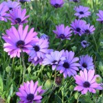 Purple Daisy field12