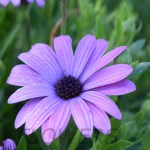 Purple Daisy12P