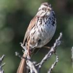 Sparrow12