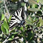 Yellow Swallowtail butterfly12