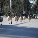 Canadian Geese line up during walk12