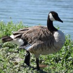 Canadian Goose on one leg12