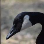 Canadian Goose portrait12