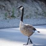 Canadian Goose212
