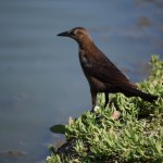 Great-tailed Grackle12