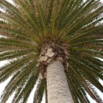 Palm tree from below12