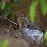 Squirrel12