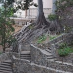Tree roots on a slope12