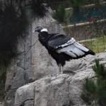 Andean Condor12