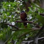 Blue-headed Dove12