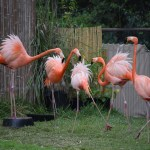 Caribbean Flamingos dance12