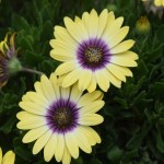 Daisy bushes12