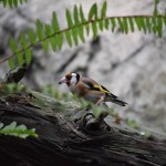 European Goldfinch12