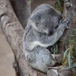 Koala12