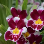 Pansy Orchids12