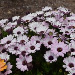 Purple Daisy bed12