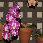 Purple Orchid in pot12