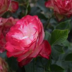 Rose-Cherry Parfait12