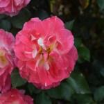 Rose-Lovestruck12