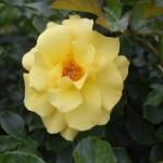 Rose-Sun Flare12