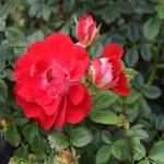 Rose-Teeny Bopper12
