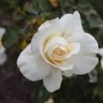 Rose-Whisper12