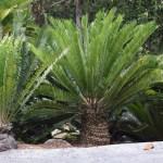 Sago palms12
