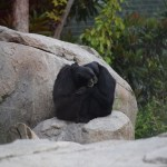 Siamangs snuggle up12