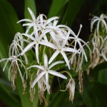 Swamp Lily12