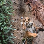 Tiger in motion12