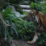 Tiger portrait12