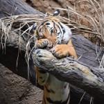 Tiger212