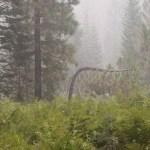 Bent pine on a smoky morning12